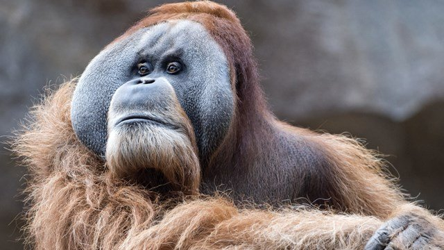 How does a primate find a date when they're confined to an urban jungle? (Photo: AP Images)