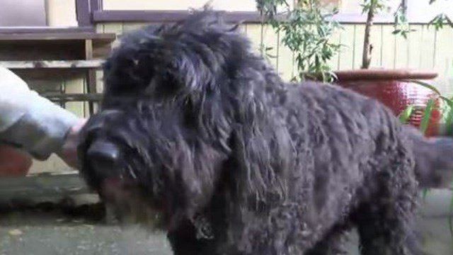 Hudson has always been a happy, fun-loving dog, but the 12-year-old Portuguese water dog slowed down considerably after her arthritis worsened and a toe was amputated. (Photo: AP)