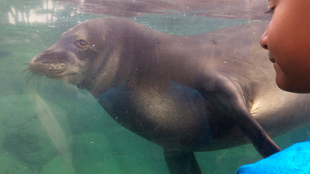 (AP Photo/Audrey McAvoy) A child watches a Hawaiian monk seal called Hoailona at the Waikiki Aquarium in Honolulu on Tuesday, Jan. 24, 2017.