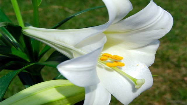 Easter lilies are a symbol of the holiday, spring and a popular decoration this time of year. However, these and similar flowers can be hazardous to your cat's health.