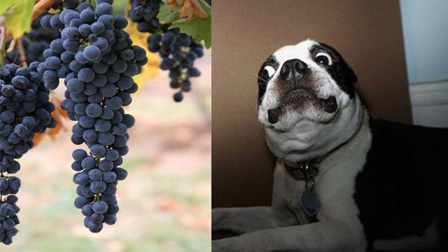 Dogs are known to eat a little bit of everything, however two treats you should never, ever slip your pooch are grapes and raisins.