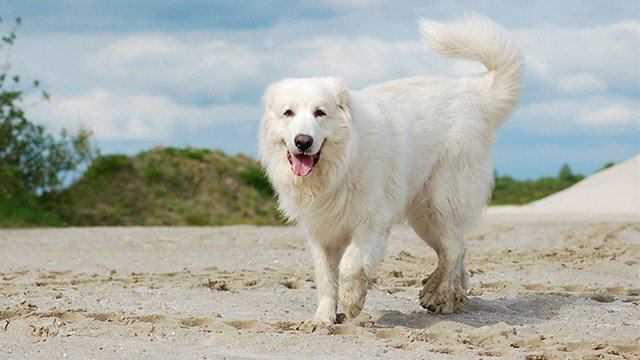 This photo shows a Great Pyrenees, the type of dog that escaped the clinic.