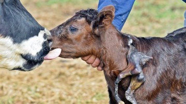 (Tom Stromme/The Bismarck Tribune via AP). Gerald Skalsky holds the 1-day-old calf with an extra pair of legs attached to its neck on Thursday, May 11, 2017 at his ranch near Beulah, N.D.