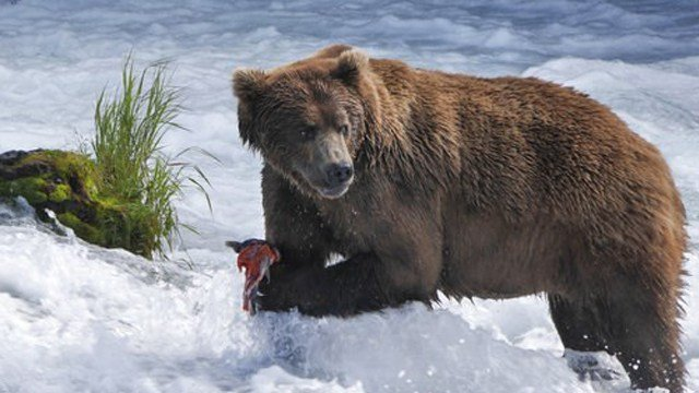 (Gareth Wildman/PBS via AP). In this undated image released by PBS, a brown bear catches salmon at Brooks Falls Katmai National Park and Preserve in Alaska.