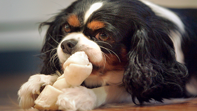 File image of a Cavalier King Charles spaniel chewing on a rawhide-shaped bone. (Source: AP Photo/The Gazette, Jim Slosiarek)