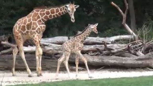 The Fort Worth Zoo has added another reticulated giraffe to its herd, with the arrival of a new baby boy on June 8th. (Photo: AP)