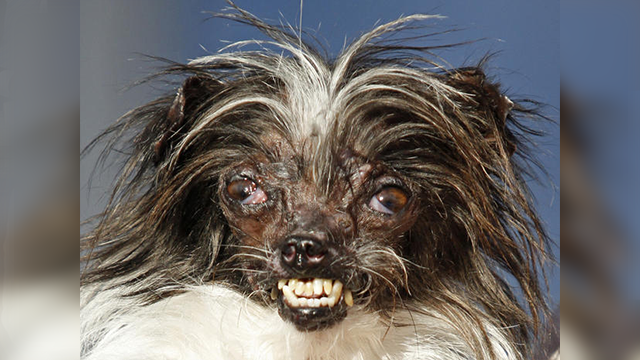 (AP Photo/George Nikitin, File) Peanut, a 2-year-old mutt is held by owner Holly Chandler after winning the World's Ugliest Dog Contest at the Sonoma-Marin Fair in Petaluma, Calif. The annual World's Ugliest Dog Contest celebrates homely pooches...