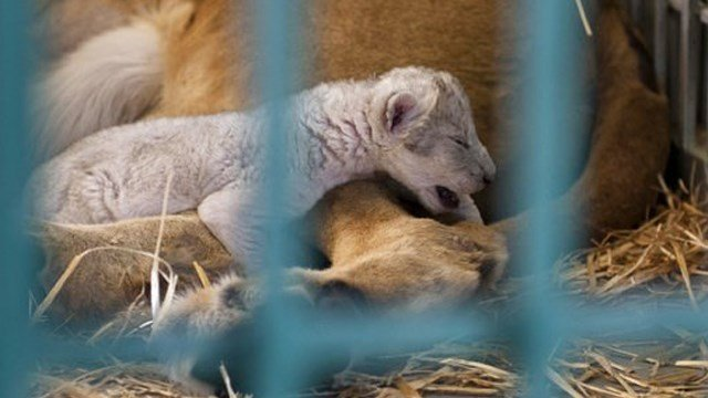 (Four Paws/Ahu Savan An, via AP). In this Saturday, Aug. 12, 2017 photo, a lion rescued from a zoo in the war-torn Syrian city of Aleppo cuddles her newborn cub in the Ma'wa Wildlife Reserve in northern Jordan.