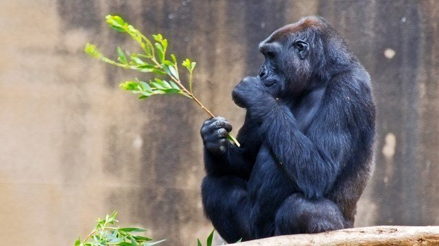 Tiffany the Gorilla in Kansas Dies Due To Ovarian Cancer