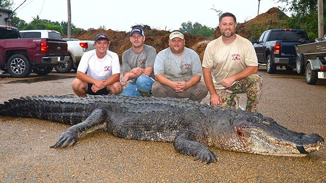 This gigantic reptile is the largest alligator ever recorded in the state of Mississippi. The beast is over 14 feet long and weighs in at 766 pounds.