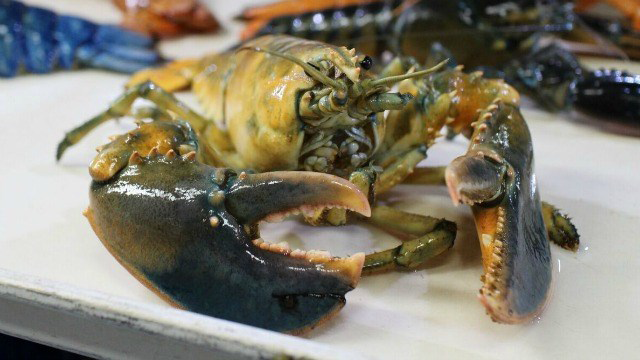 A rare yellow lobster joins New England Aquarium's multicolored collection