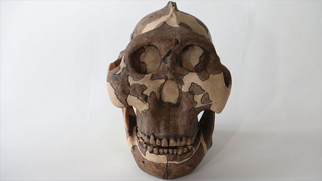 (Source: CNN) Standing about 4 feet tall, early human ancestor Paranthropus boisei had a small brain and a wide, dish-like face. It is most well-known for having big teeth and hefty chewing muscles.