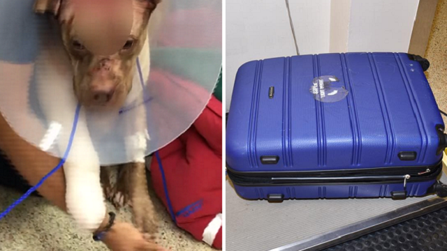 Police in Florida want to know who stuffed a beaten and stabbed pit bull puppy in a suitcase and left him to die. (Hollywood Police Department/CNN)