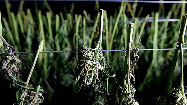 n this Wednesday, Oct. 12, 2016 photo, recently harvested marijuana buds dry at Laura Costa's farm near Garberville, Calif. (AP Photo/Rich Pedroncelli)