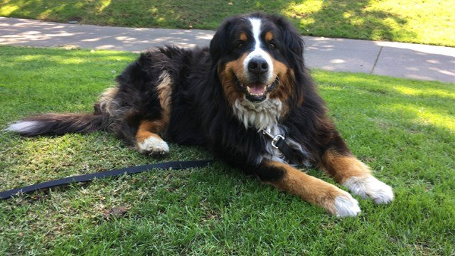 Izzy, a 9-year-old Bernese Mountain Dog who belongs to Jack Weaver's parents relaxes Saturday, Oct. 14, 2017, in Windsor, Calif. (AP Photo/Jonathan Copper)