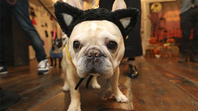 Instagram pet celebrity, @thedailywalter (84.8k followers) turns into a feline at PetSmart's 2017 Fall/Halloween collection launch event in New York City. (Amy Sussman/AP Images for PetSmart)