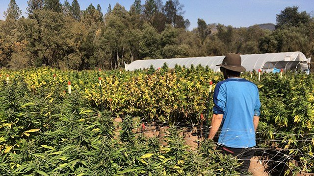 In this photo taken Oct. 15, 2017, Marcos Morales, co-founder of pot company Legion of Bloom, walks through his farm of ready-to-harvest pot plants in Glen Ellen, Calif. (AP Photo/Paul Elias)