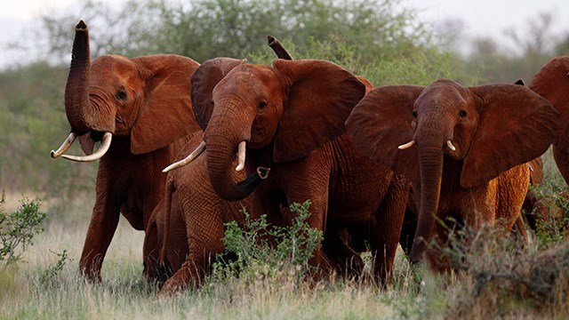 In this photo taken Tuesday, March 9, 2010, elephants use their trunks to smell for possible danger in the Tsavo East national park, Kenya. (AP Photo/Karel Prinsloo, File)