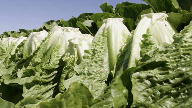 A worker harvests romaine lettuce in Salinas, Calif. (AP Photo/Paul Sakuma)