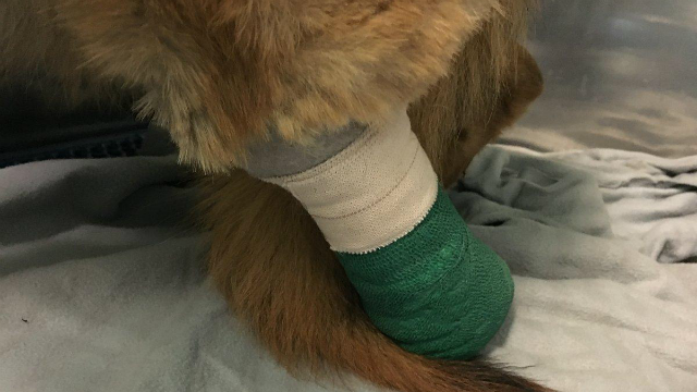 Puppy tied to fence overnight tried to bite off its foot to esca