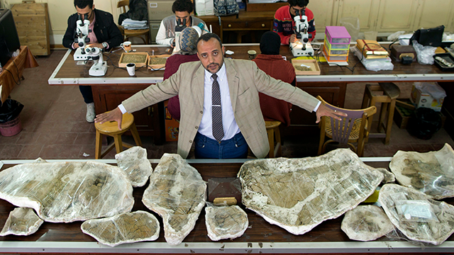 (AP Photo/Amr Nabil)  In this Saturday, Feb. 3, 2018 photo, Hesham Sallam, head of Mansoura university's Center for Vertebrate Paleontology, displays bones of a Cretaceous period dinosaur in Mansoura, Egypt. Researchers from Mansoura university in the ...