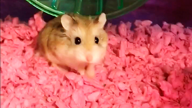(Belen Aldecosea via AP) This undated image made from video provided by Belen Aldecosea shows Pebbles, her pet dwarf hamster. Aldecosea says Spirit Airlines told her to flush her hamster down an airport toilet because the emotional support rodent wasn't..