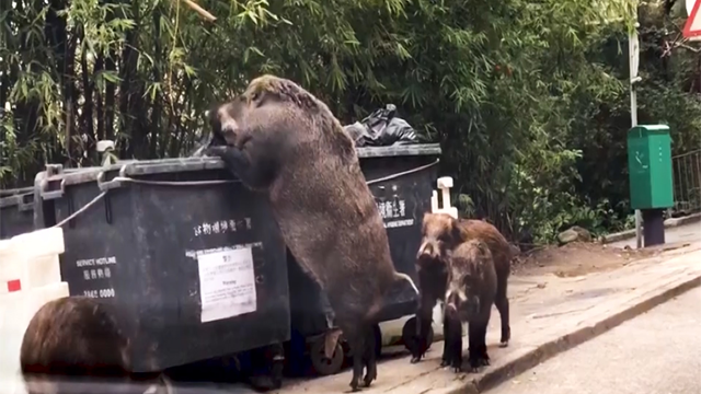 Giant, wild boar searches for food near school in Hong Kong