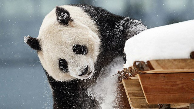 Female panda Jin Bao Bao, named Lumi in Finnish, plays in the snow on the opening day of the Snowpanda Resort in Ahtari Zoo, in Ahtari, Finland.