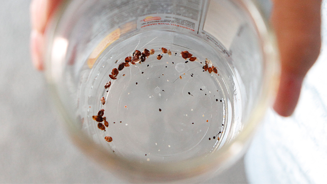 In this Aug. 25, 2010 photo, Delores Stewart displays bed bugs found in her home in Columbus, Ohio. (AP Photo/Terry Gilliam)