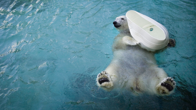 Coldilocks the polar bear plays with a container at the Philadelphia Zoo in Philadelphia, Wednesday, Jan. 16, 2008. (AP Photo/Matt Rourke)
