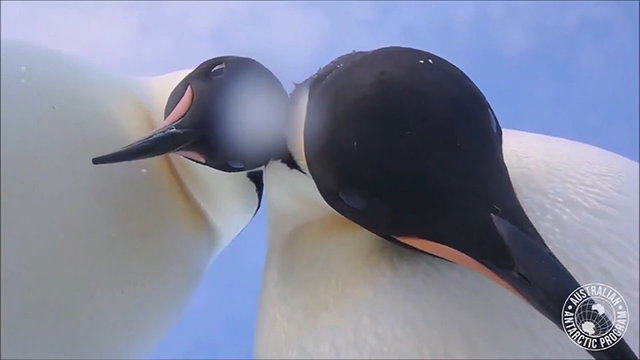 Curious penguins find research camera, take 'selfie' video
