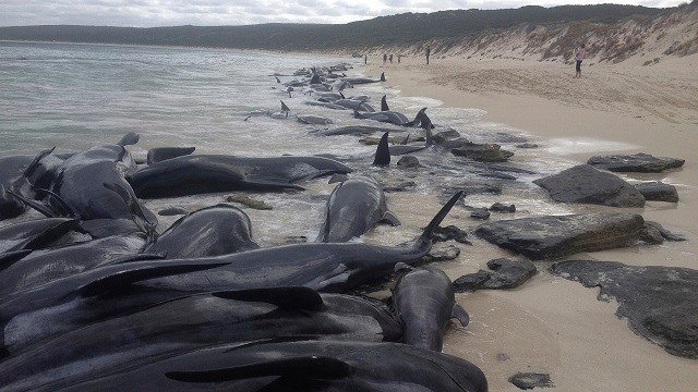 Supplied image of more than 150 short-finned pilot whales who became beached at Hamelin Bay, in Western Australia's south, Friday, March 23, 2018. (WA Department of Biodiversity, Conservation and Attractions, Parks and Wildlife Service/AAP via AP)