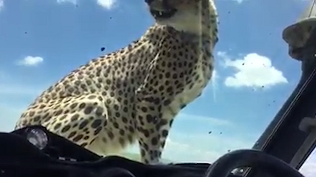 Cheetah Jumps in Jeep During African Safari