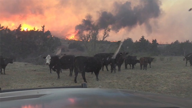 Watch: Man leads cows away from wildfire