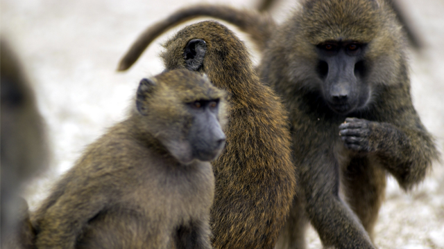 Four baboons escaped a biomedical research lab in San Antonio by climbing a 55-gallon barrel. (Photo: Texas Biomedical Research Institute)