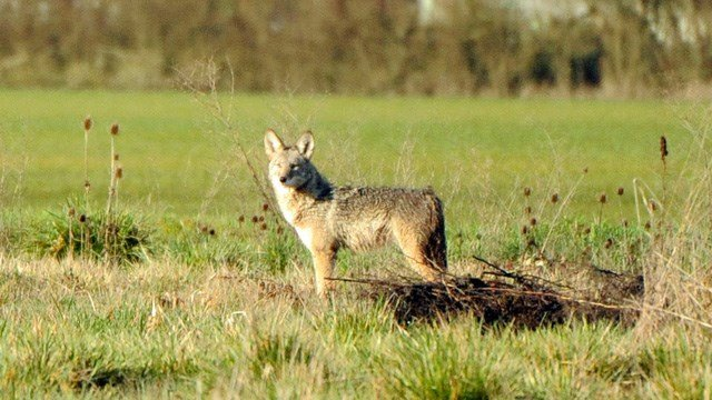 Coyote attacks 5-year-old girl at Westchester park
