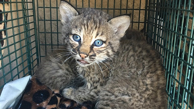 Family finds kittens, later discovers they are actually bobcats