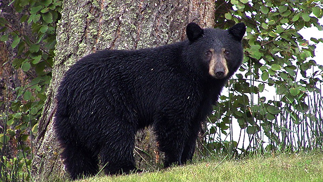 Girl in fair condition after bear attack