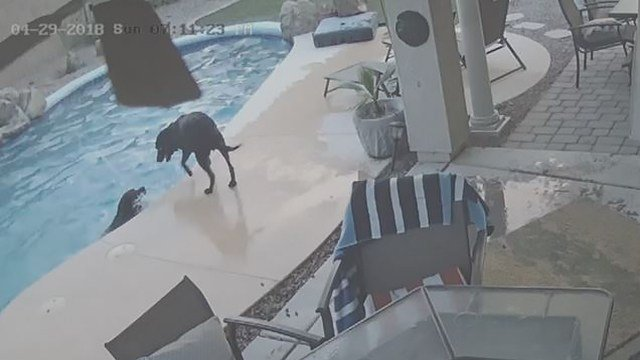 Remus jumped into the pool to rescue his buddy, Smokey. (Source: 3TV/CBS 5)
