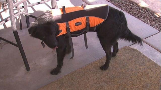 Smokey now rocks a brand-new life jacket to help him learn how to swim. (Source: 3TV/CBS 5)
