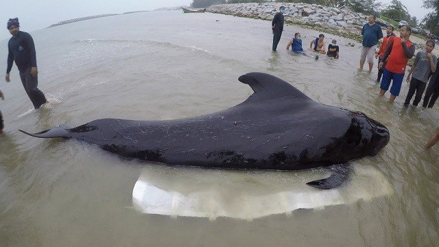 Plastic bags jam stomach of dead whale