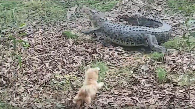 Pippa the terrier chases Casey the crocodile back into the river. Pippa's torment of Casey lasted a decade before Casey finally got revenge and ate Pippa. (YouTube)