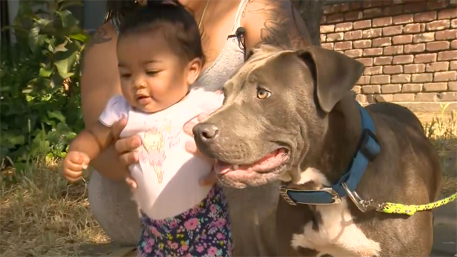 A mother in Stockton, Calif. is crediting her pit bull puppy with saving her and her baby's life. (KCRA via CNN)