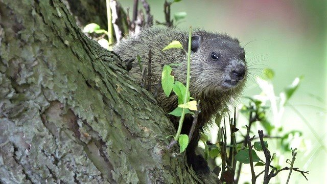 A baby groundhog peeks out from a perch in the crook of an old apple tree in Moreland Hills, Ohio on Tuesday, June 23, 2009. (AP Photo/Amy Sancetta)