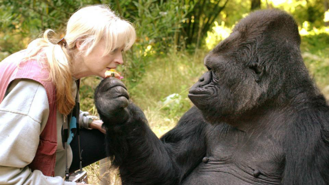 Gorilla Known For Learning Sign Language, Koko, Has Died