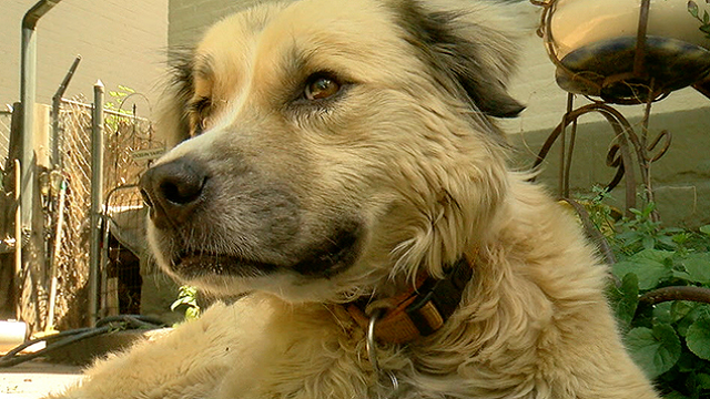Winnie Cooper, an 8-year-old Australian Shepherd mix, made it back to her Denver neighborhood after she went missing for months. (KMGH via CNN)