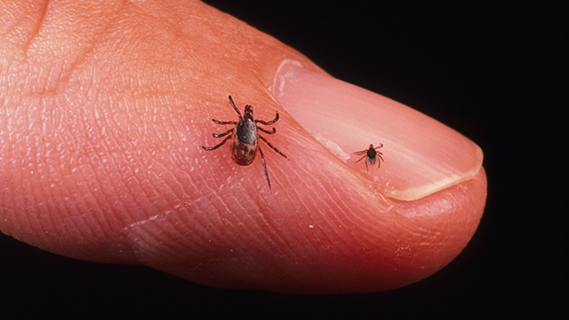 A Close Up Of An Adult Female And Nymph Tick Is Shown June 15, 2001 On A Fingertip. Ticks Cause An Acute Inflammatory Disease Characterized By Skin Changes, Joint Inflammation, And Flu-Like Symptoms Called Lyme Disease. (Photo By Getty Images)