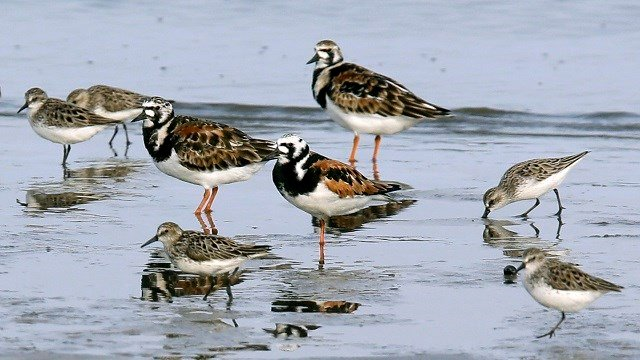 In this May 22, 2018 photo, ruddy turnstones, larger birds, and semipalmated sandpipers walk near the shoreline at Kimbles Beach, Middle Township NJ.  (AP Photo/Jacqueline Larma)