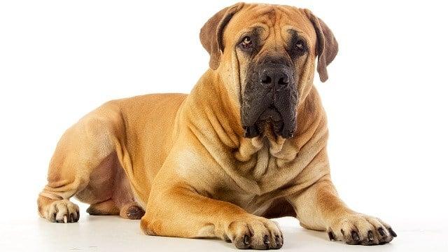 A mastiff dog. (Storyblocks)