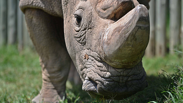 """Scientists have used in-vitro fertilization techniques to develop hybrid rhino embryos -- """"test-tube rhinos"""" -- which could help save the endangered northern white rhinoceros species. (Tony Karumba/AFP/Getty Images)"""